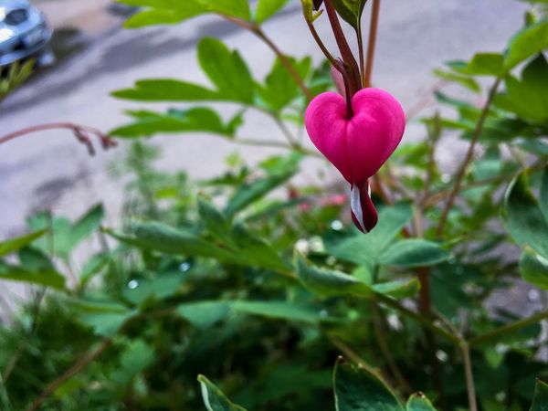 Flowers Flower Growth Nature Heart Shape Heart ❤ Heart Flower Beauty In Nature Beauty In Nature Pink Color White Pink Pink Flower Green Car Day City Győr IPhone SE IPhone IPhoneography IPhone Photography
