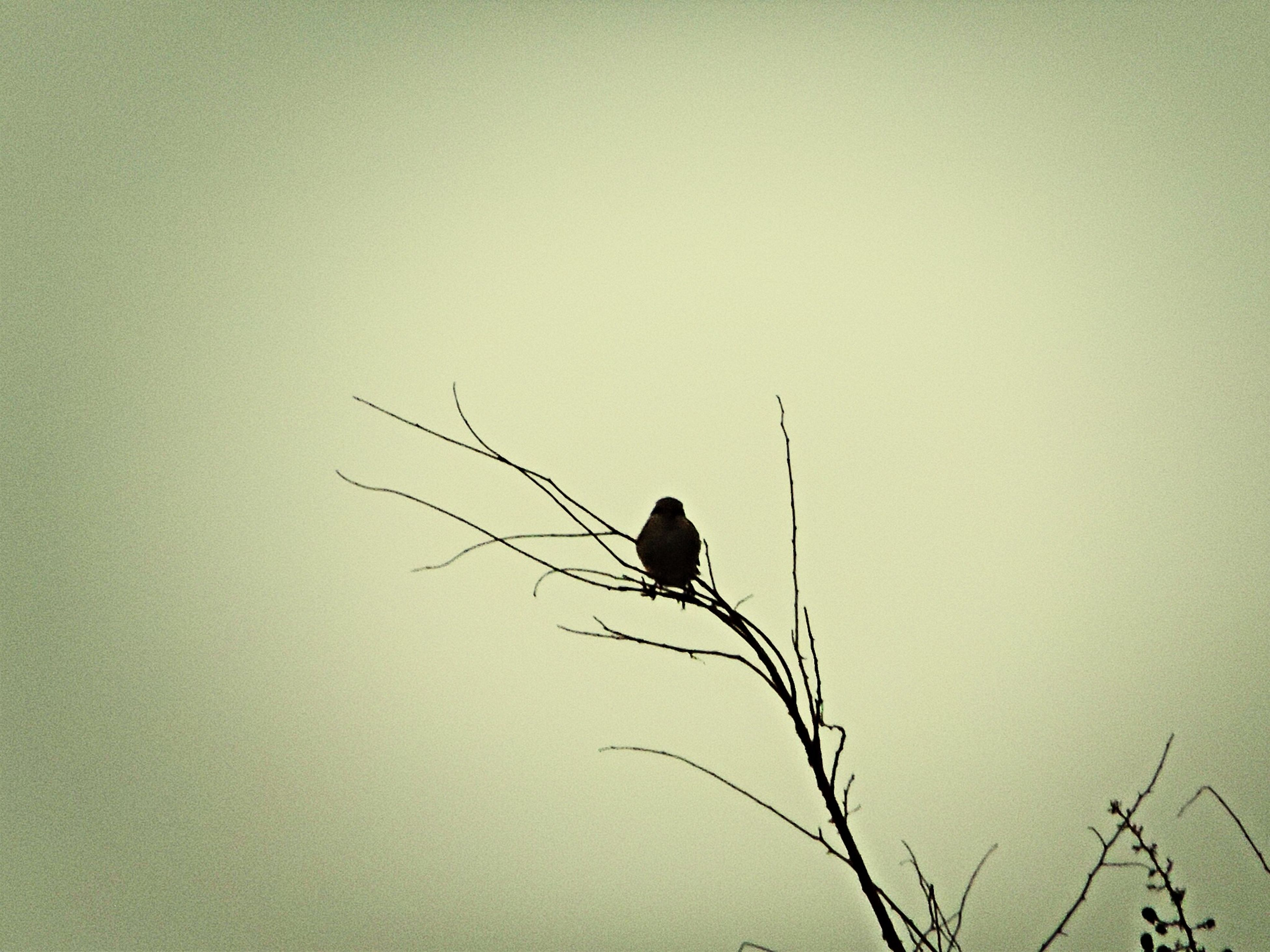 animal themes, one animal, silhouette, animals in the wild, wildlife, bird, perching, low angle view, bare tree, clear sky, branch, nature, copy space, full length, outdoors, tranquility, no people, day, dusk, beauty in nature