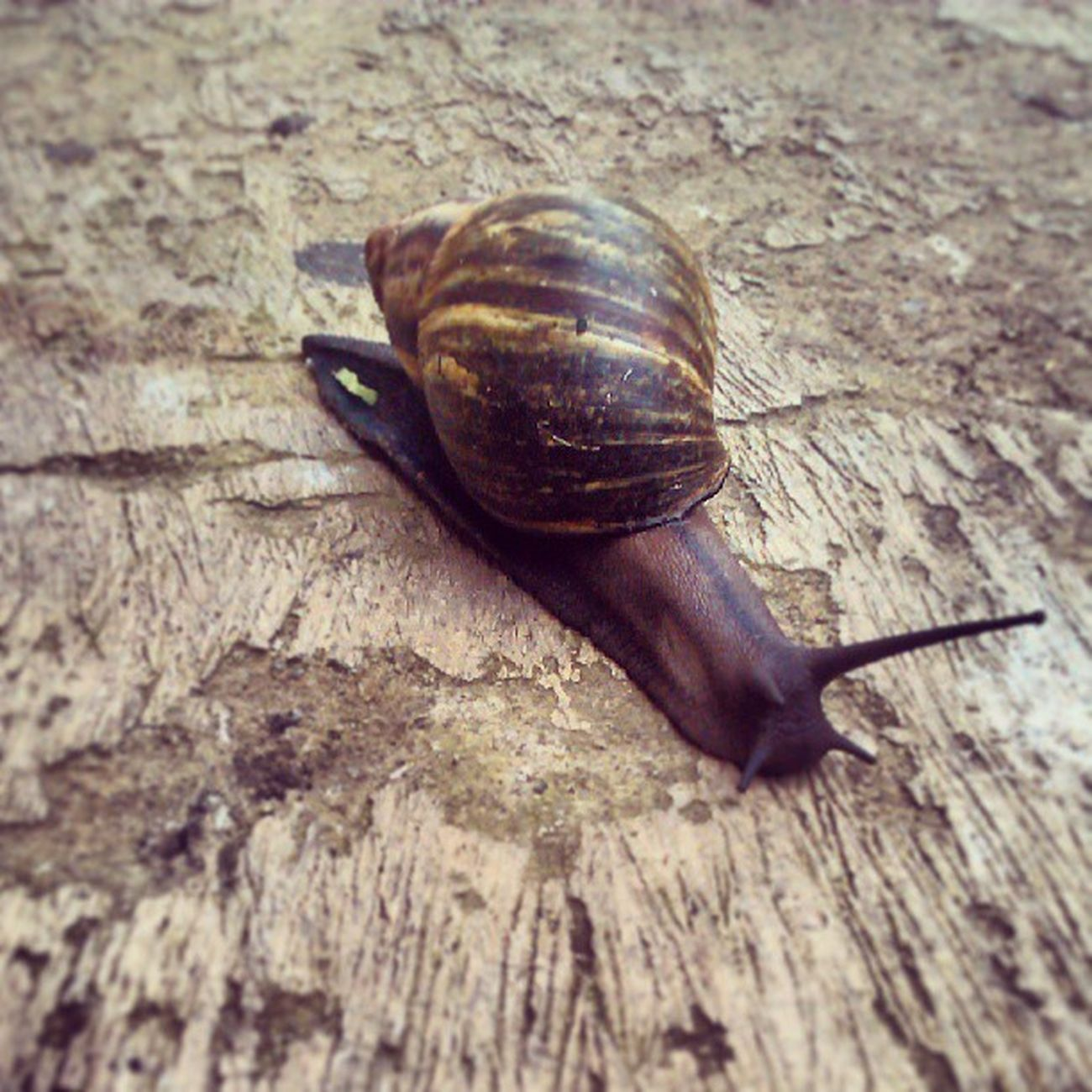 Coming from the KINGDOM Animalia , Phylum Mollusca and Class Gastropoda , Meet Mr. Snail... Sciencewednesday Biology