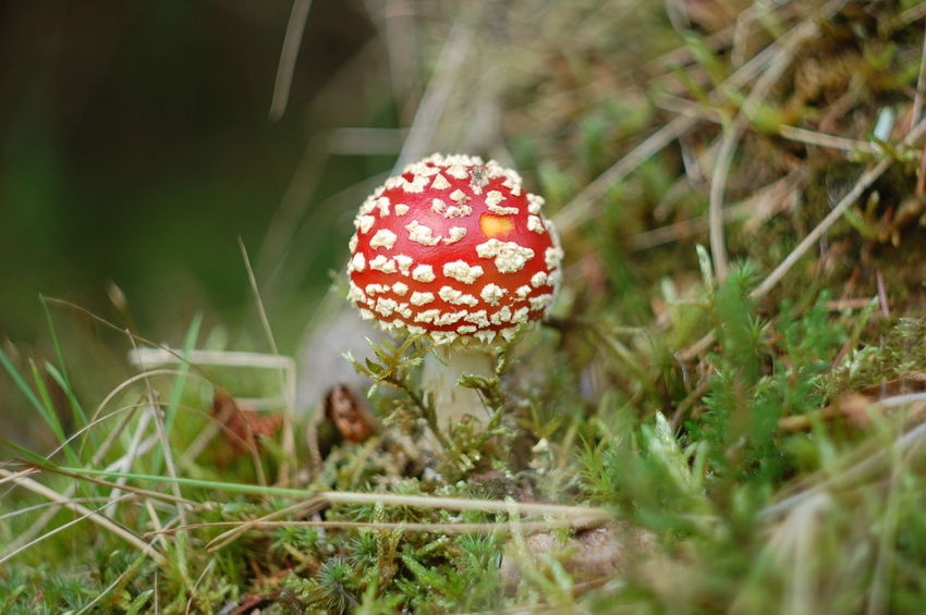 Beauty In Nature Close-up Day Depth Of Field Dof Dof Nature Fly Agaric Mushroom Focus On Foreground Forest Forest Photography Freshness Fungus Green Color Growing Growth Mushroom Nature No People Outdoors Plant Poisonous Red Selective Focus Toadstool Vibrant Color