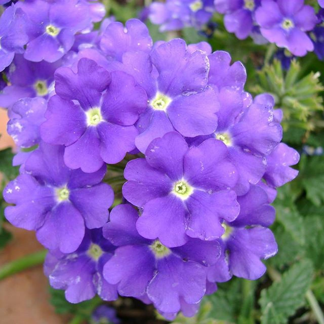 flower, growth, purple, nature, beauty in nature, petal, plant, outdoors, fragility, freshness, no people, blooming, flower head, day, close-up