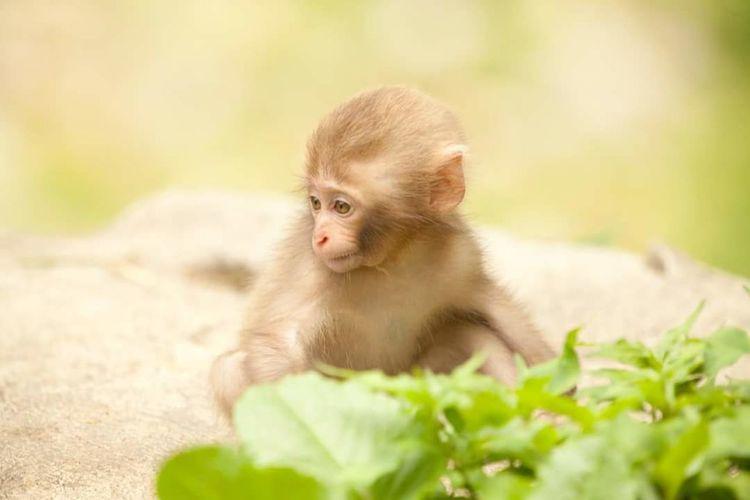 Monkey Baby Cute Japanese Monkey Animal Wildlife Nature. At Jigokudani (地獄谷), A group of monkeys take a dip in hot springs.
