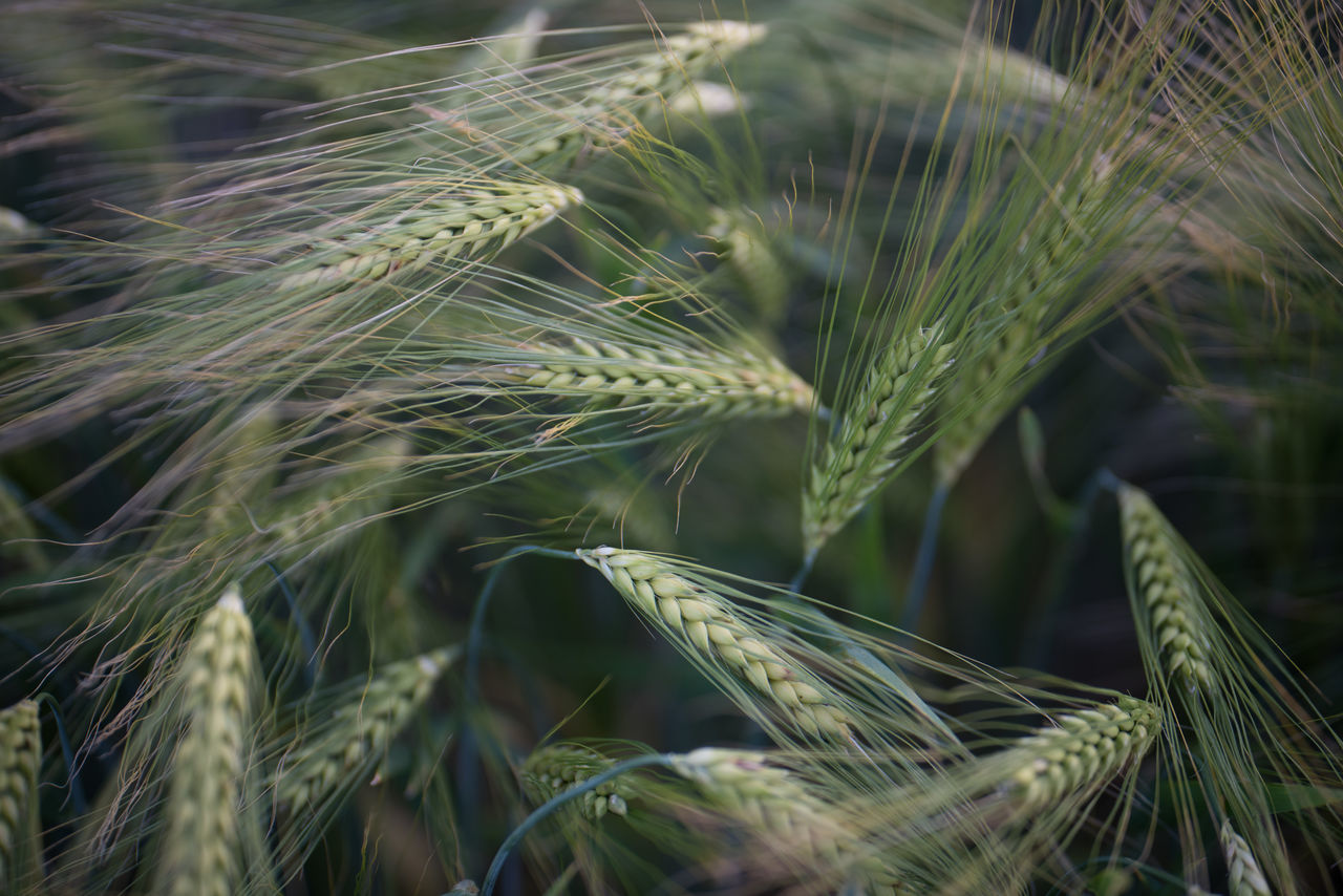 Evening walk along a barley field. Nice how the crop is reflecting the setting sun Agriculture Barley Beauty In Nature Cereal Plant Close-up Day Dynamic Evening Light Growth Many Of A Kind Nature No People Outdoors Plant Selective Focus Spikes Sunlit