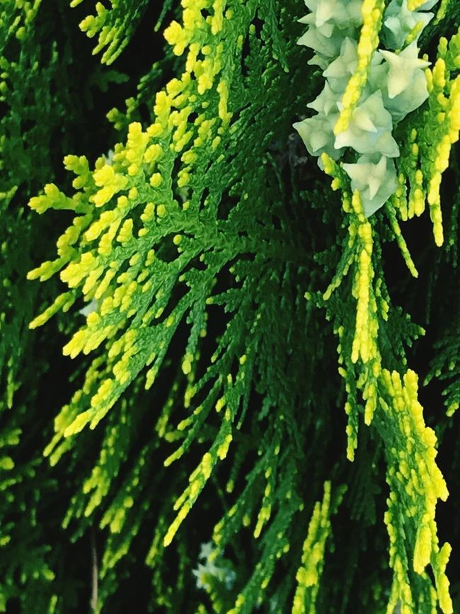 Growth Green Color Nature Plant Leaf Close-up Lush Foliage No People Textured  Day Freshness Beauty In Nature Outdoors Tree Fresh Growth New Leaves Yellow Evergreen Tree Evergreen Nature Photography Nature