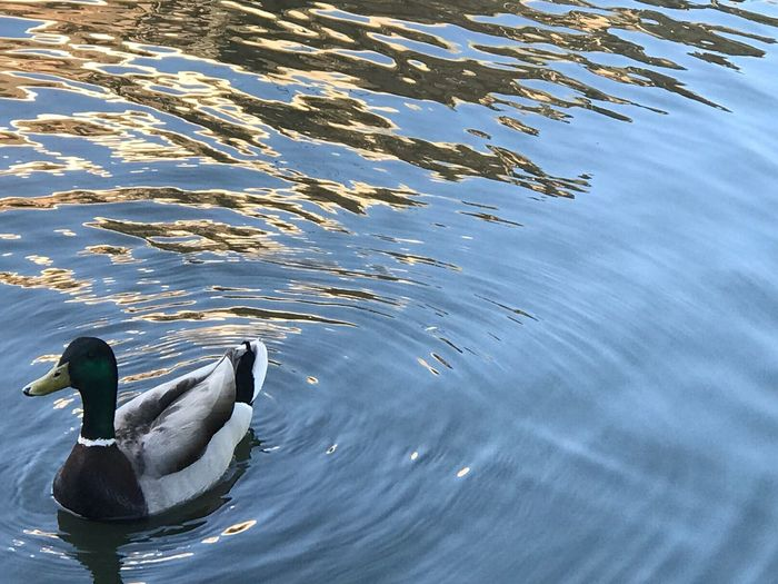 Animals In The Wild Animal Themes Animal Wildlife Bird One Animal Water Swimming Lake Nature Day Waterfront No People Water Bird Outdoors Beauty In Nature Swan