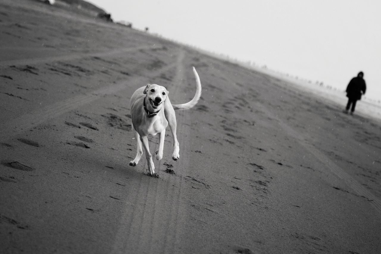 Dog Whippet Running Race Beach Funtime Cheese! Fast Blackandwhite Photography Walkies Chasing Born To Run Pets The Great Outdoors With Adobe