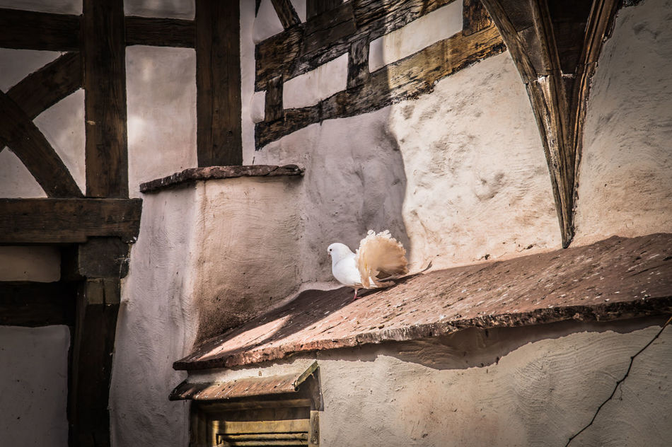gurrrr Animal Themes Architecture Bird Day Dove Low Angle View Mourning Dove No People One Animal Outdoors Wartburg Wartburg In Eisenach/ Germany