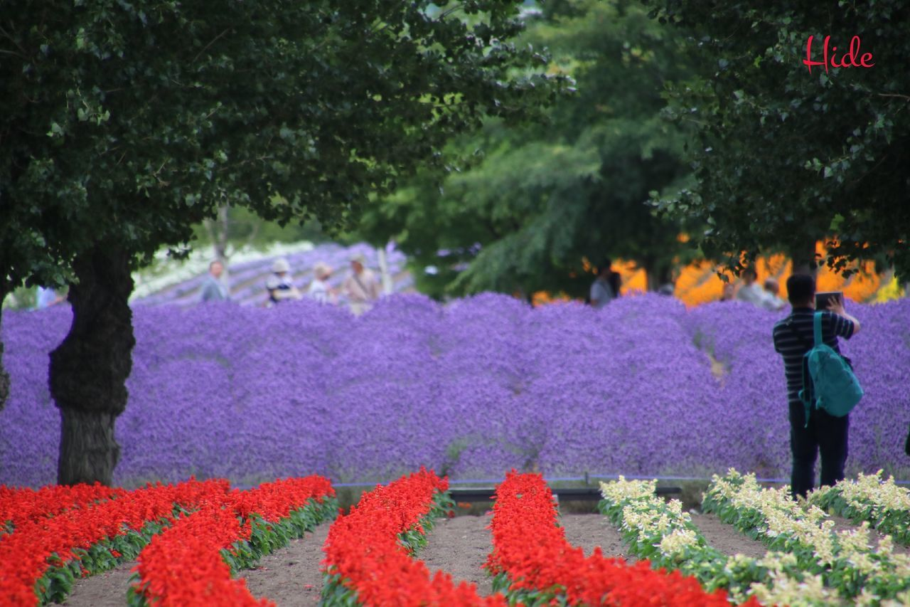 Flowers Lavender 花 ラベンダー ファーム冨田 富良野 Furano Colour Of Life People And Places