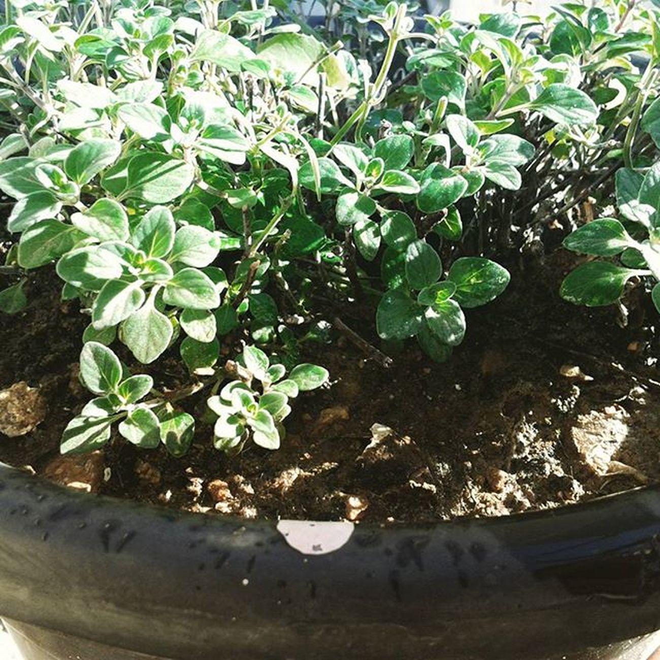 نباتات شاي زعتر جبلي Love Nature Tag Tea Trees