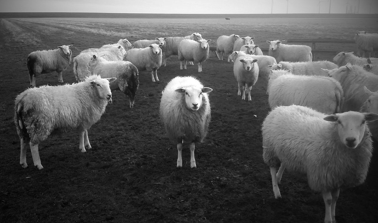 Livestock Sheep Domestic Animals Flock Of Sheep Animal Themes Field Large Group Of Animals Landscape Nature Agriculture Herd Grazing Mammal Rural Scene Beauty In Nature Pasture Outdoors No People Day Groningen Holland EyeEm Nature Lover Agriculture Blackandwhite Photography Black & White