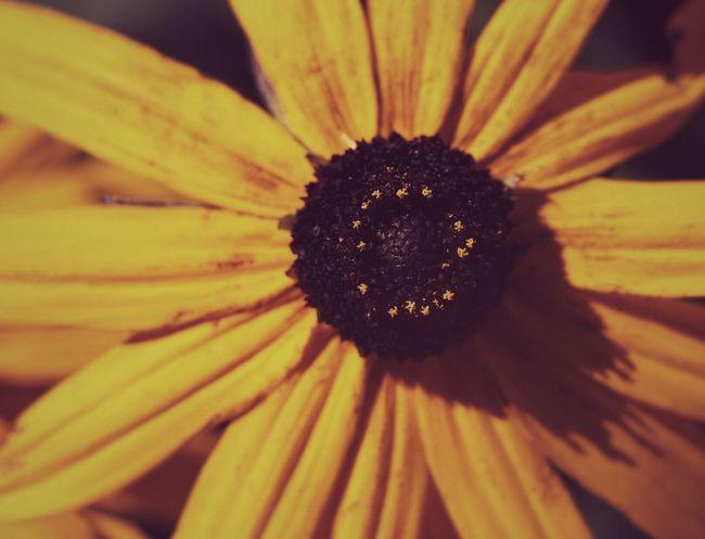 Flowers Flower Sunflower Yellow Yellow Flower Yellow Color Petals Petals🌸 Garden Plants Plants And Flowers Plants 🌱 Nature Nature_collection Nature Photography Close-up Close Up Macro Macro Photography Macro_collection