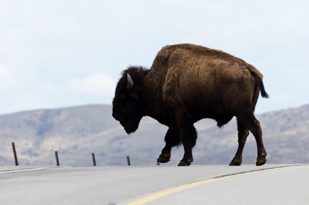 caution Bison crossing