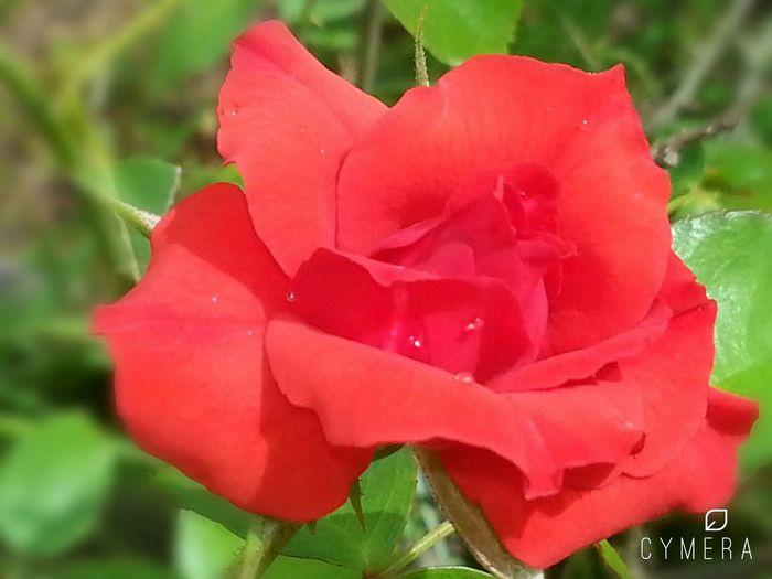 CarmenVazquezPhotography Copyright© MyPics Macro Rose🌹 Redrose  Nature Photography Rosephotography Beautifulrose Rosé