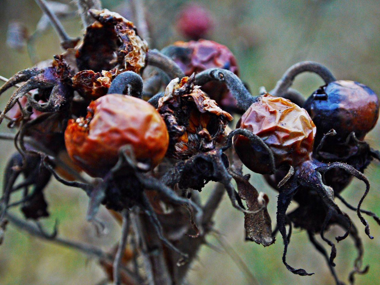 Beauty In Nature Bird Feed Close-up Day Dry Fruits Focus On Foreground Fruit Nature No People Outdoors Plant Rose Hips Wintertime