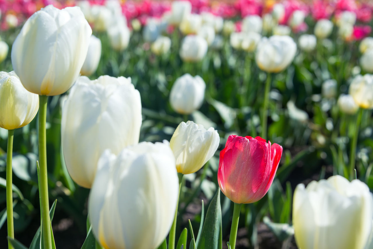 Closeup view of white and red tulips in Woodburn, Oregon Beauty In Nature Colorful Day Flower Flowers Freshness Green Nature No People Oregon Outdoors Pacific Northwest  Pink Purple Red Row Rows Tulip Tulips United States USA White White Color Woodburn Yellow
