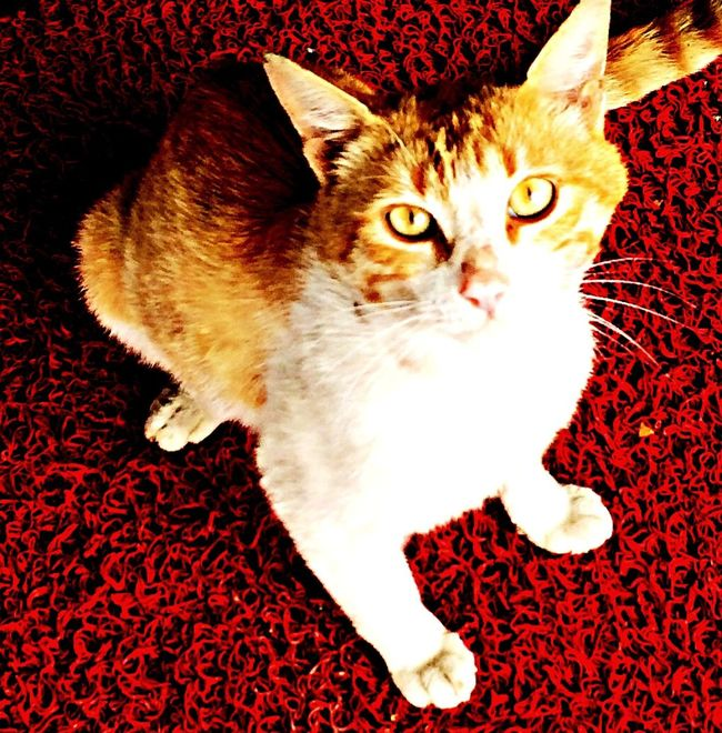 Cat Red Animals Eyes