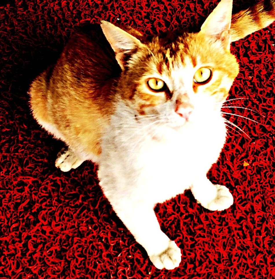Cat Red Animals Eyes