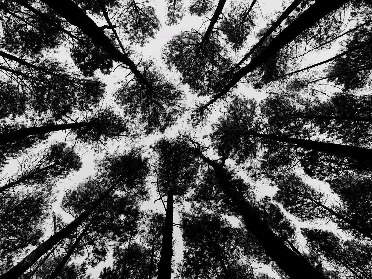 pattern pine forest sky background Tree Low Angle View Tree Trunk Nature Outdoors Beauty In Nature Branch Forest Tree Canopy  Sky Scenics Pattern Background Blackandwhite Black And White Photography Pine Tree Forest Path
