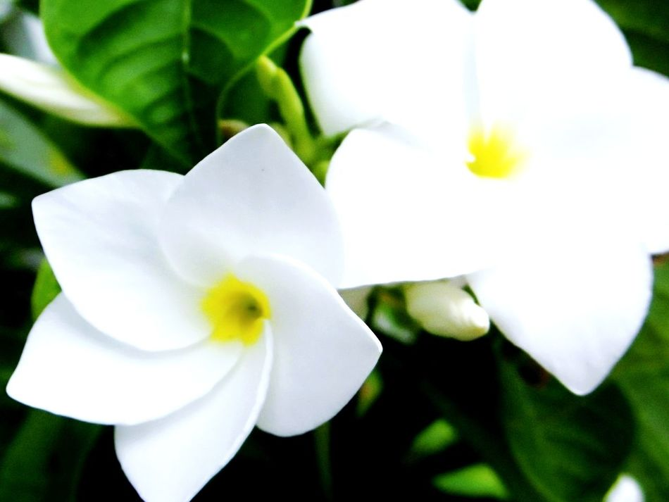 ลั่นทม Frangipani Flower Rave จำปา Flower Petal Flower Head Fragility Freshness Nature Beauty In Nature Plant Growth Blossom Close-up White Color Rose - Flower Leaf Springtime No People Scented Day Blooming Outdoors