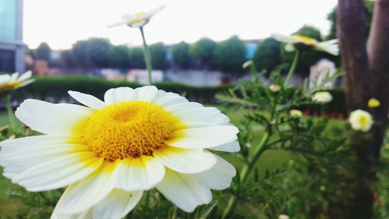 flower, fragility, petal, beauty in nature, freshness, yellow, nature, flower head, growth, plant, focus on foreground, close-up, outdoors, no people, blooming, day