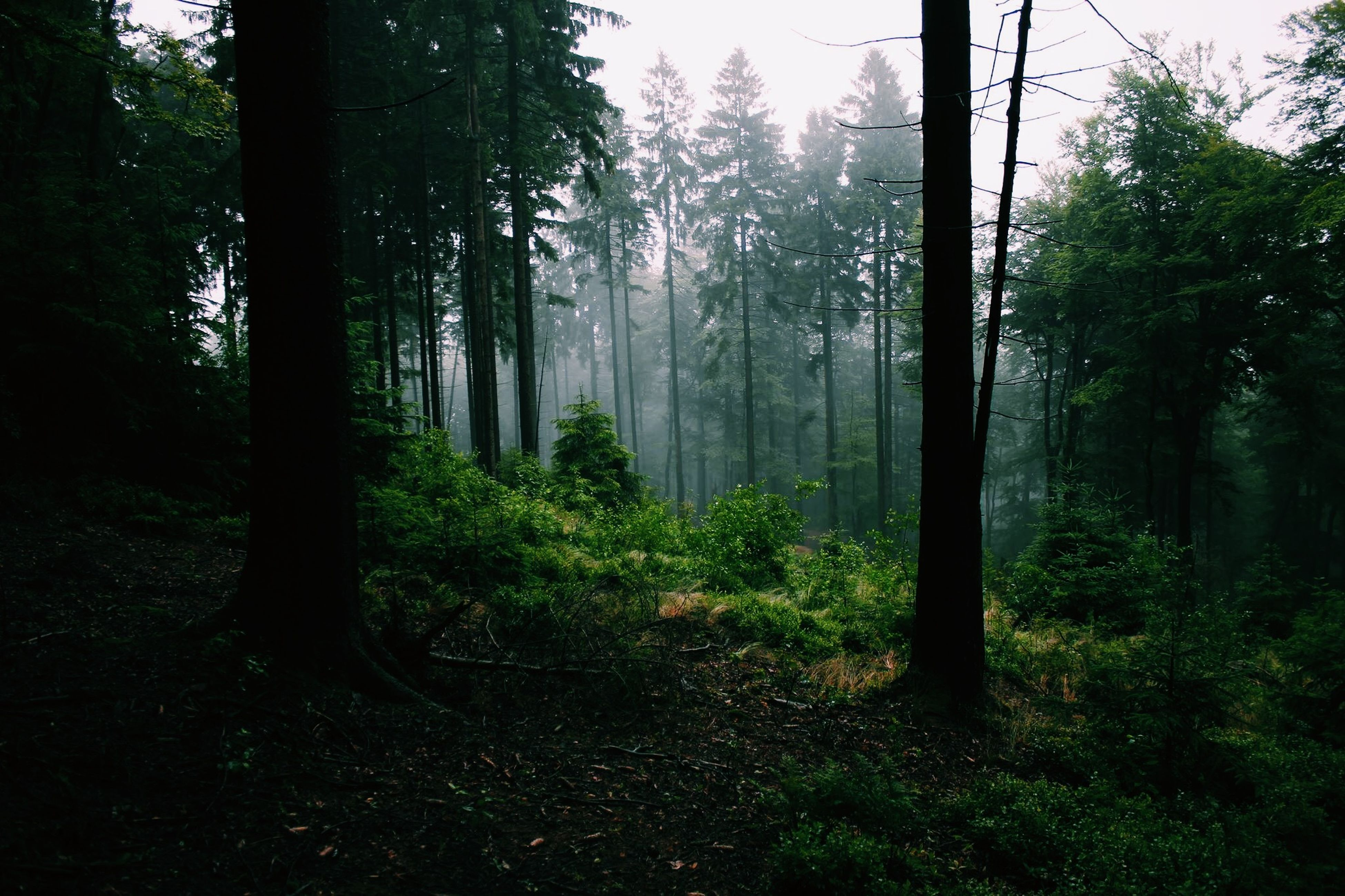 tree, forest, tree trunk, tranquility, growth, tranquil scene, woodland, nature, beauty in nature, scenics, sunlight, green color, branch, non-urban scene, landscape, day, idyllic, outdoors, plant, fog