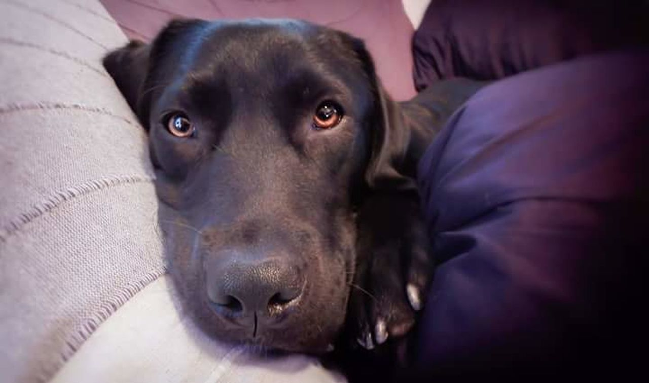 Chloe Dog Pets Indoors  Lying Down Sofa Domestic Animals One Animal Looking At Camera Animal Themes Close-up Togetherness Dogofmylife Emotions Captured Labrador Labrador Retriever Emotional Photography Emotion In Life EyeEm Best Shots LabradorLove Photographylovers Eyemphotography Animaloftheday