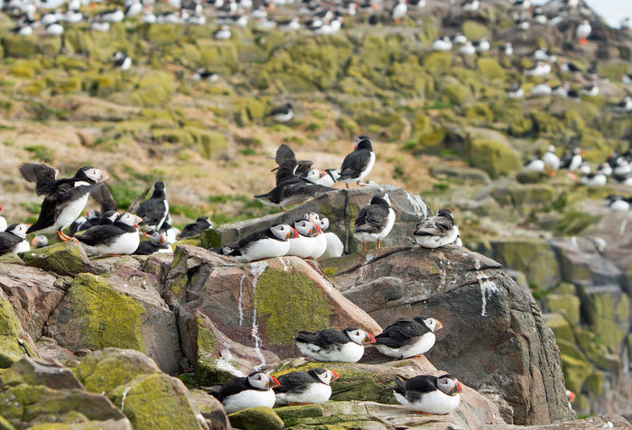 Flock of Puffins nesting on the sea cliffs on the Farne Islands Animal Themes Bird Day Farne Islands Flock Of Birds Nature Nature Photography Nesting, No People Northumberland Outdoors Outdoors Photograpghy  Puffins Wildlife & Nature Wildlife Photography Wildlife Photos