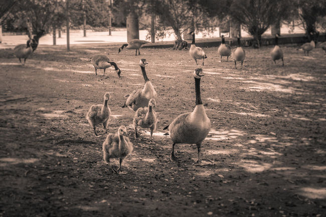 Maby in a hurry.😄Animal Themes Animal_collection Animals In The Wild Beautiful Moments Beautiful Nature Canada Goose Capture The Moment Ducklings Enjoying The View EyeEm Best Shots EyeEm Nature Lover From My Point Of View Gooses Gooses Family Gänse Monochrome Nature Nature_collection Spontaneous Moments