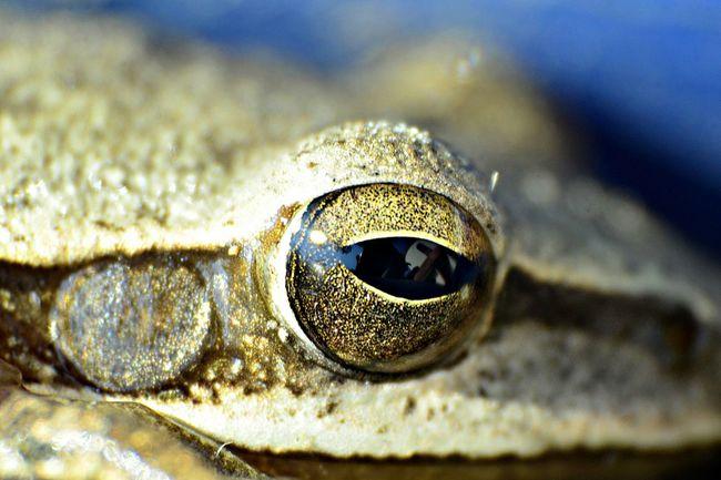 Macro - Eye of tree frog First Eyeem Photo Macro Photography Macro Macro_captures Macroshot Macro Clique Macro Eye Treefrog Treefrogs Treefrogeye Eye Macro Nature Macrophotography