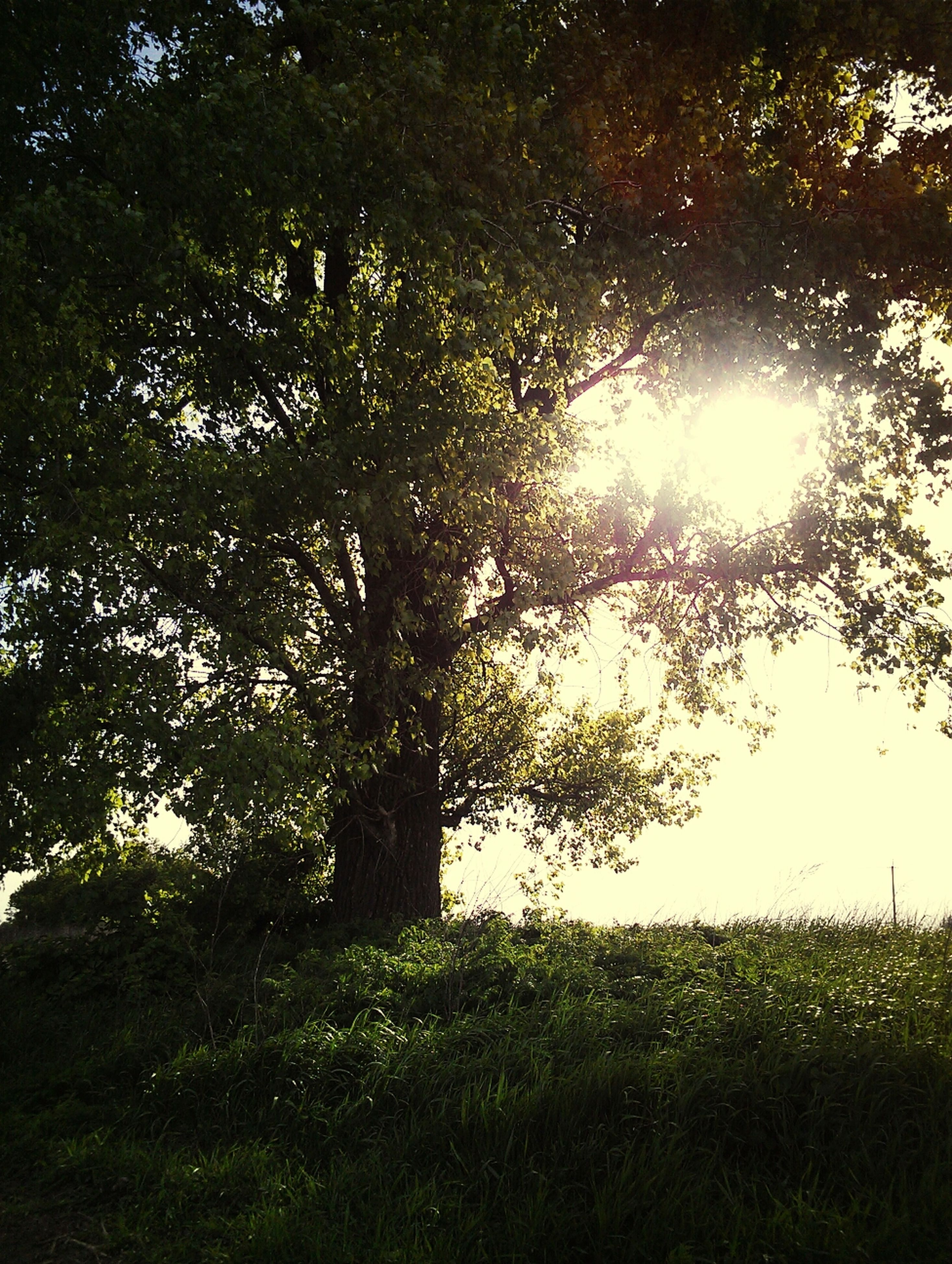 tree, sun, tranquility, growth, sunlight, grass, beauty in nature, sunbeam, nature, tranquil scene, green color, lens flare, branch, scenics, field, sky, grassy, day, sunny, outdoors