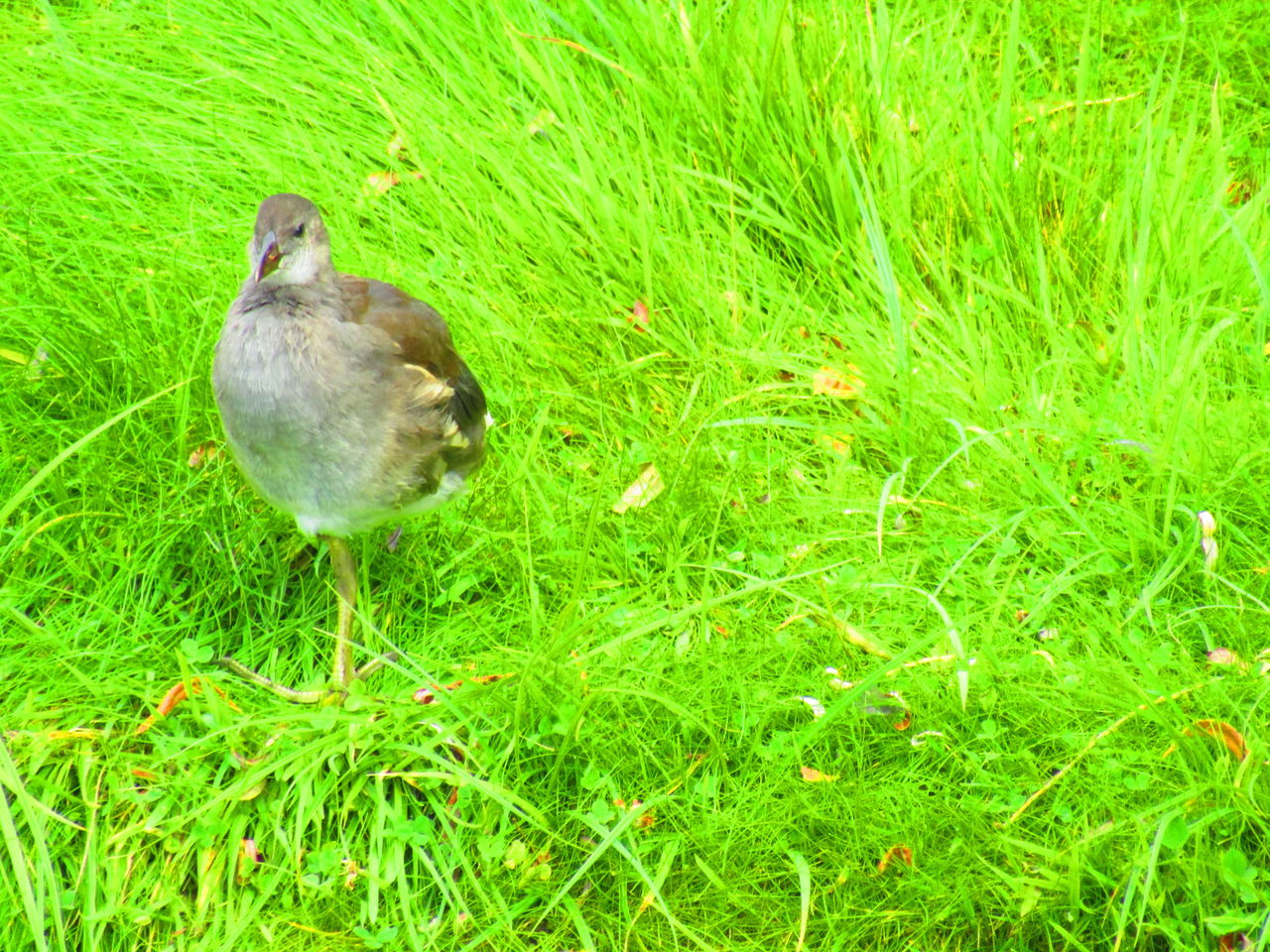 grass, bird, animal themes, animals in the wild, green color, one animal, nature, animal wildlife, field, no people, outdoors, day, perching, growth, beauty in nature