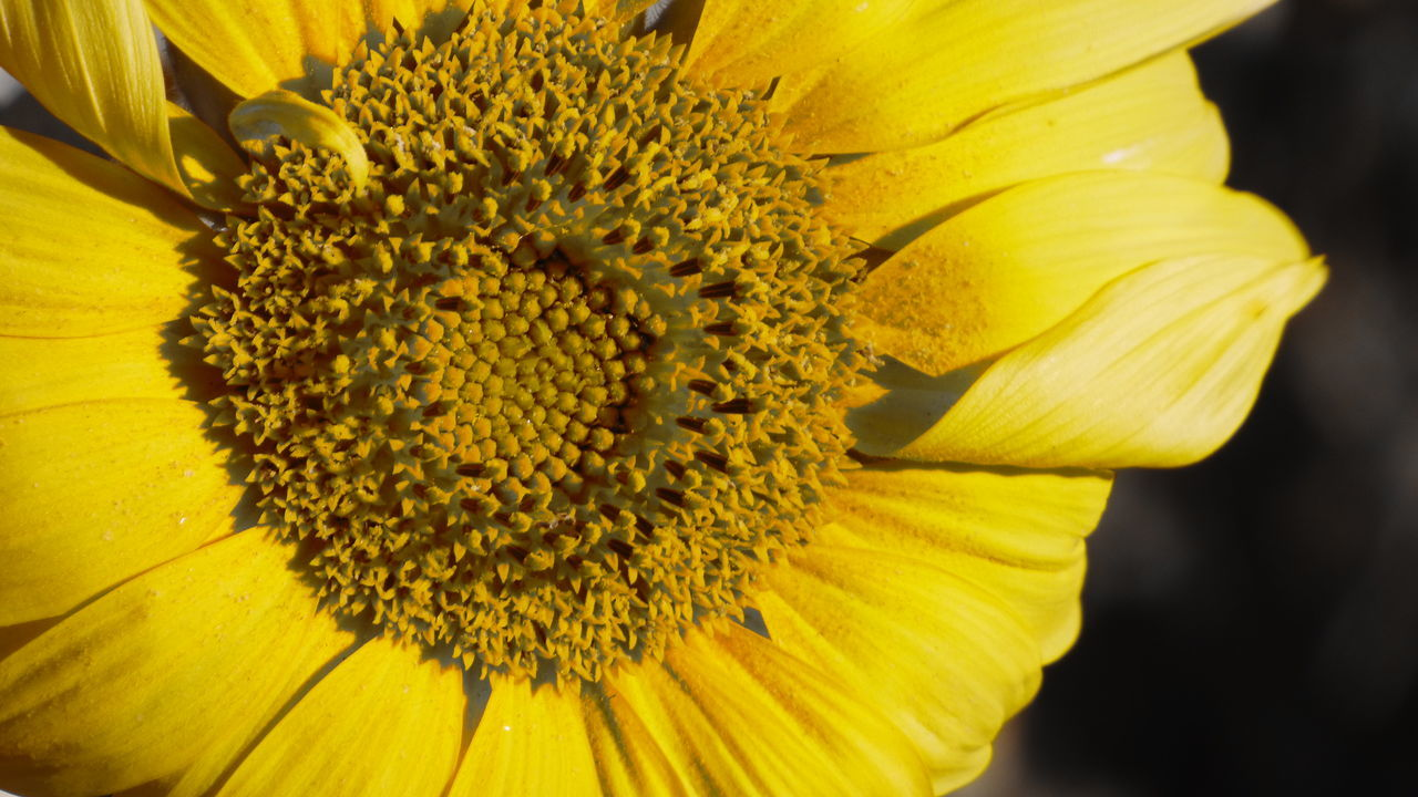 flower, petal, yellow, flower head, fragility, beauty in nature, freshness, nature, pollen, close-up, growth, plant, no people, blooming, day, sunflower, outdoors