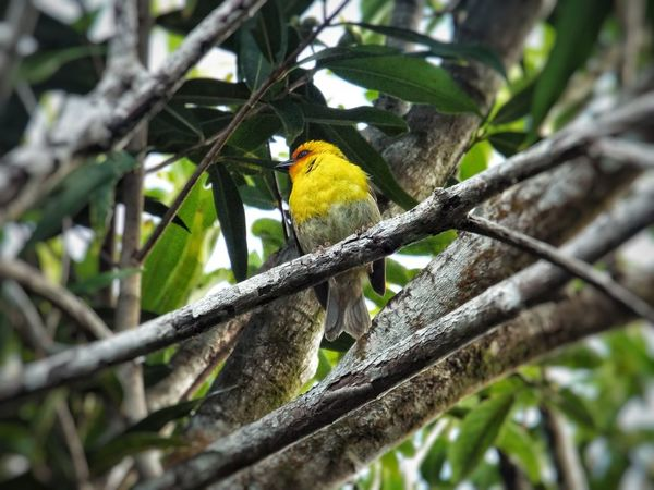 A beautiful yellow little bird perching on a branch in the forest🐤 One Animal Perching Branches Green Leaves☘️ Close-up Beauty In Nature Day Outdoors No People Forest On Mountains Tranquillity EyeEmbestshots EyEmNewHere EyeEm Animal Lover Week On Eyem Beautiful ♥ Rodrigues Island Mauritius 🇲🇺