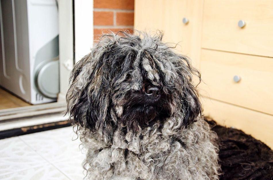 Pets Corner Hungarianpuli Guarding The Garden Cute Pets Silver  Masko Dreads Dog