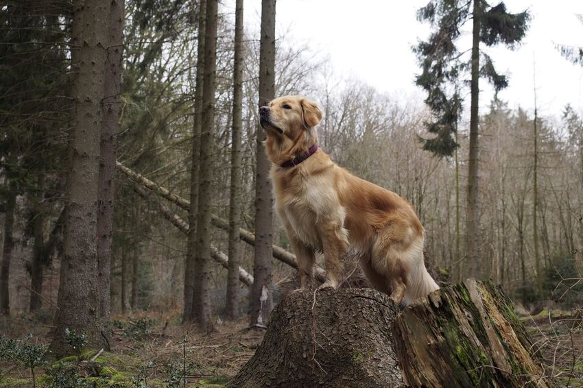 Dog Golden Golden Retriever Retriever Animal Themes Pets Tree Forest Domestic Animals One Animal Mammal Tree Trunk Outdoors No People Nature Day Plants Nature_collection Naturelovers Beauty In Nature Nature Photography Olympus Wildlife & Nature Friends Beautiful Nature