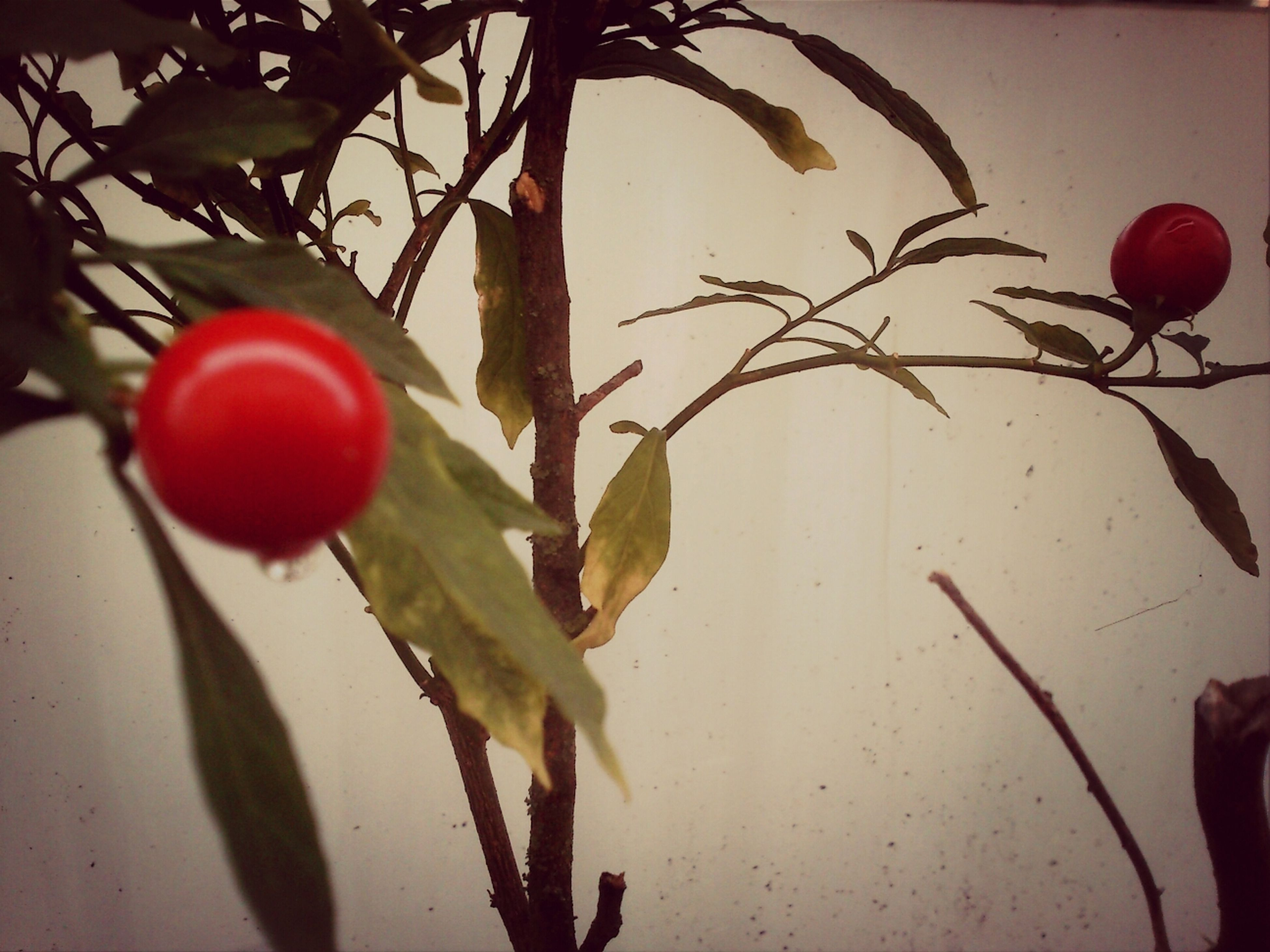 leaf, red, fruit, branch, growth, close-up, tree, hanging, plant, focus on foreground, freshness, food and drink, stem, nature, day, twig, no people, growing, outdoors, food