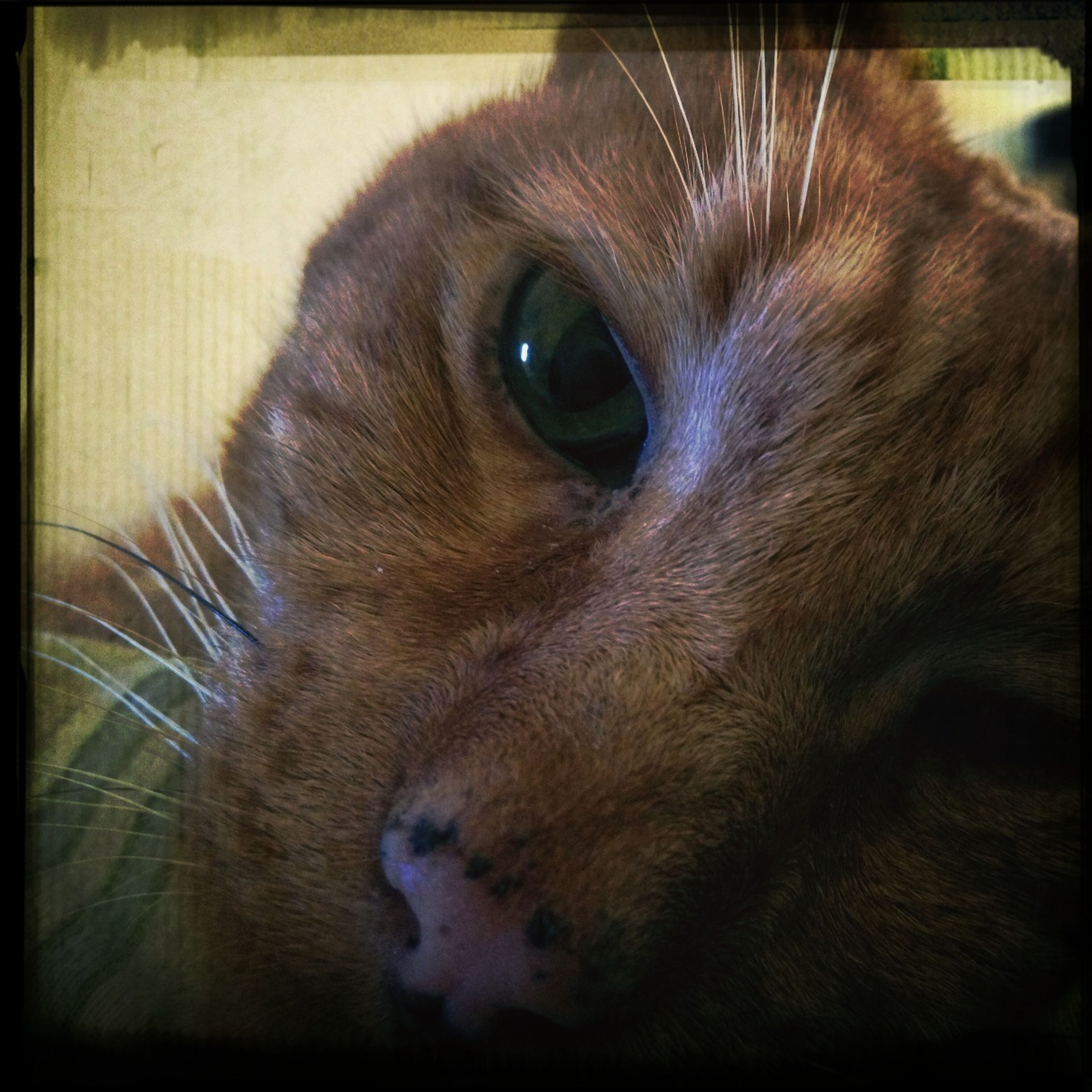 one animal, animal themes, pets, domestic animals, domestic cat, mammal, cat, animal head, feline, transfer print, whisker, close-up, indoors, animal body part, auto post production filter, animal eye, looking away, animal, zoology, alertness