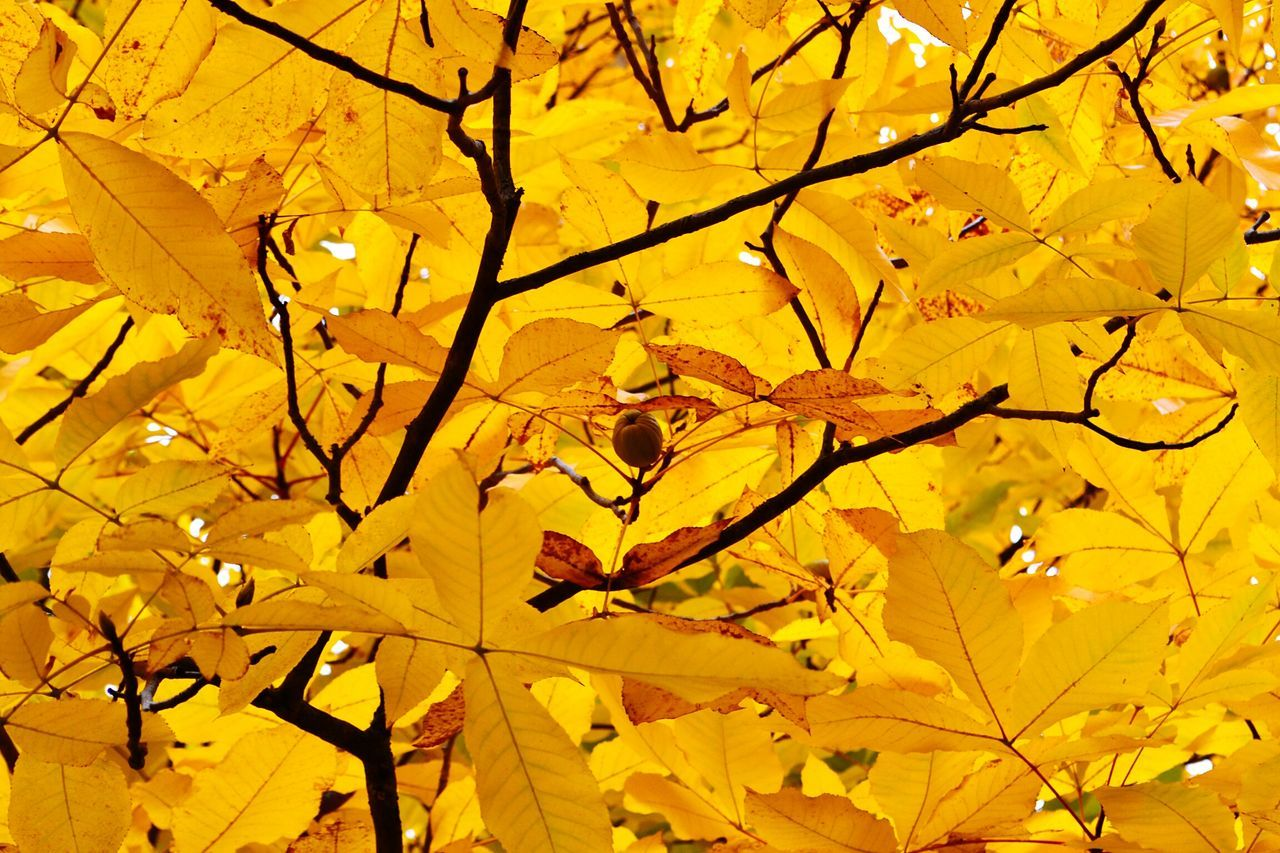 leaf, autumn, yellow, branch, nature, tree, growth, beauty in nature, backgrounds, no people, outdoors, day, close-up, maple