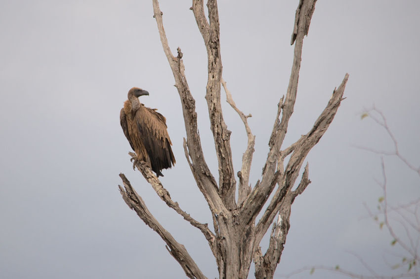 Animal Wildlife Bird Day Gyps Africanus Kruger National Park, South Africa Nature Tree Vulture White Backed Vulture