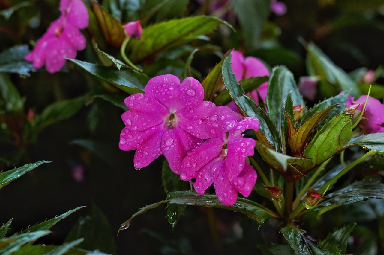 Parque de El Capricho, Madrid SPAIN Flower Freshness Petal Fragility Growth Nature Beauty In Nature Purple Jorge L. Españoles Y Sus Fotos Beauty In Nature Nature Blooming Close-up Plant Pink Color No People Leaf Outdoors Day Rhododendron