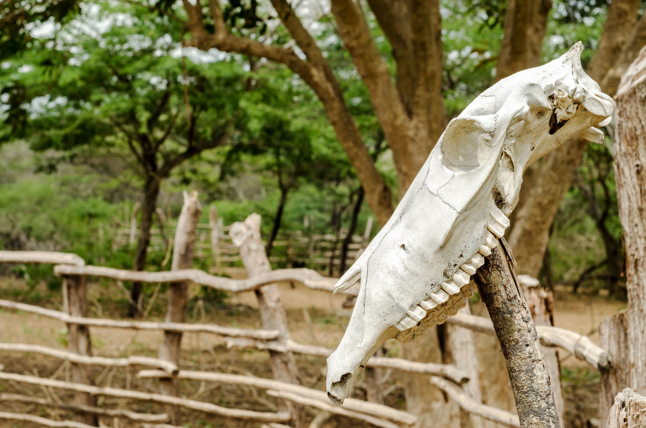 An old white cow skull on a fencepost Animal Bone  Bones Bovine Colombia Cow Cows Day Dead Death Decoration Fence HEAD Laguajira Mounted Nature Outdoors Post Skeleton Skull Skulls Town Tree White Wild