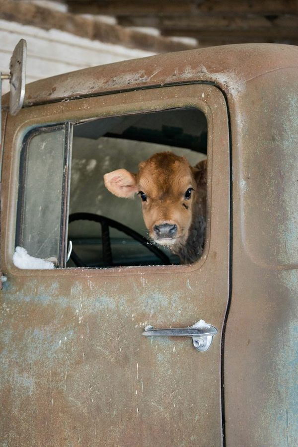 Mooooovin' ride along. Check This Out Cheese! Farming EyeEm Gallery Ranch Life Farm Life Beef Cattle Cows Bovine Jersey Calf Calf Old Truck Ford Truck Classic Truck
