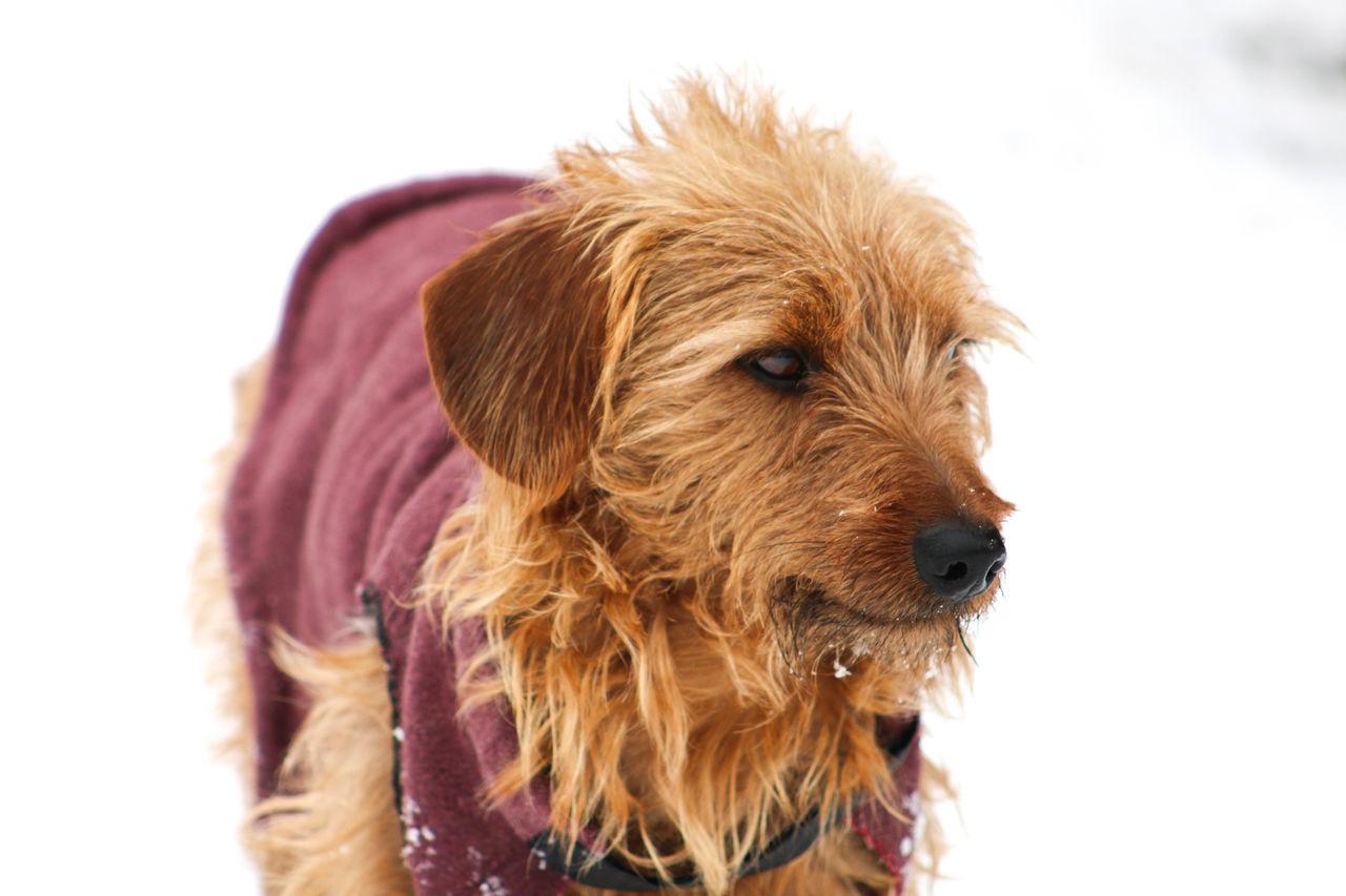 Dachshund Dof Dog Dog Coat Doxie Snow Winter