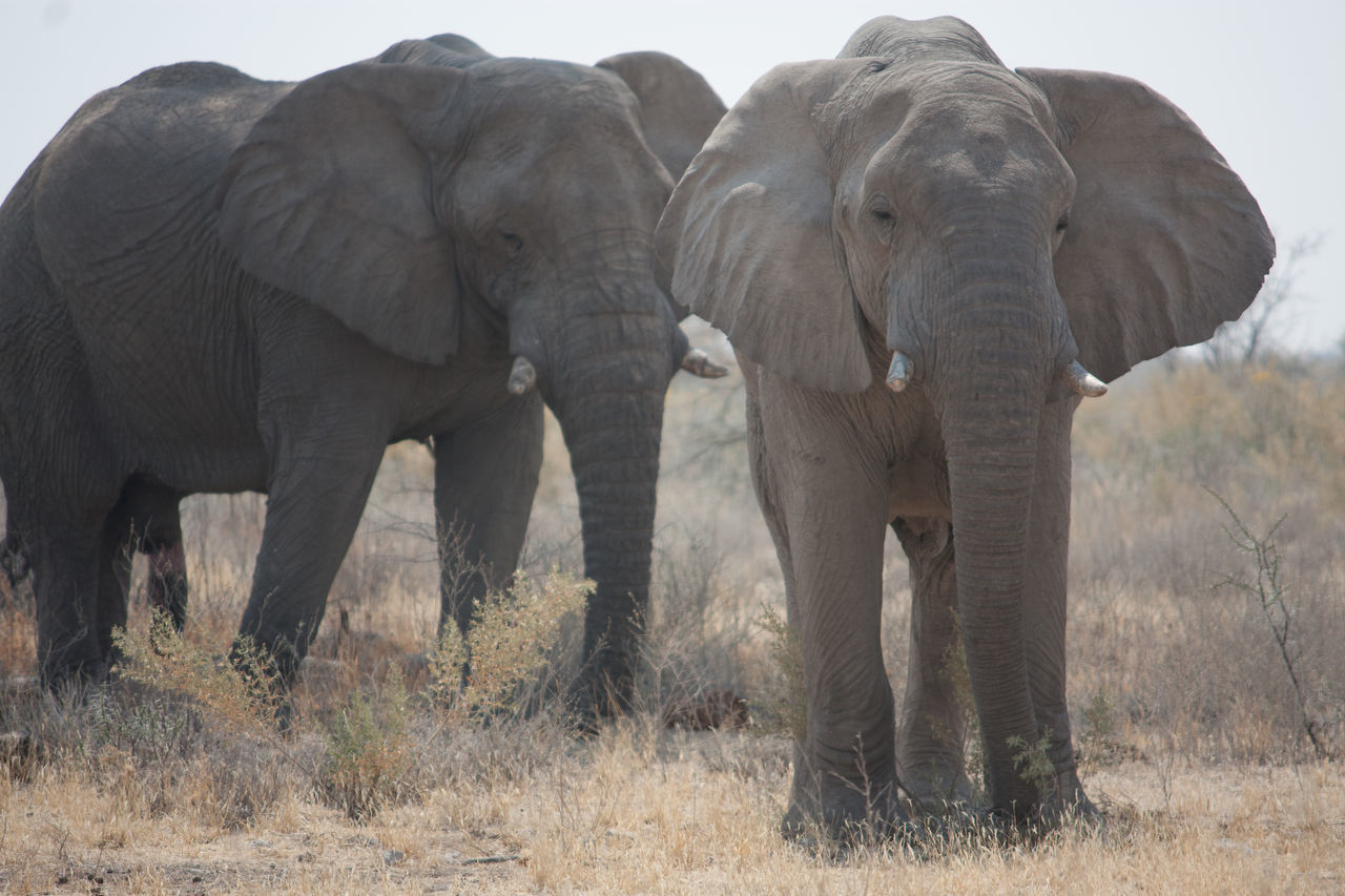 Beautiful stock photos of elephant, Animals In The Wild, Arid Climate, Beauty In Nature, Clear Sky