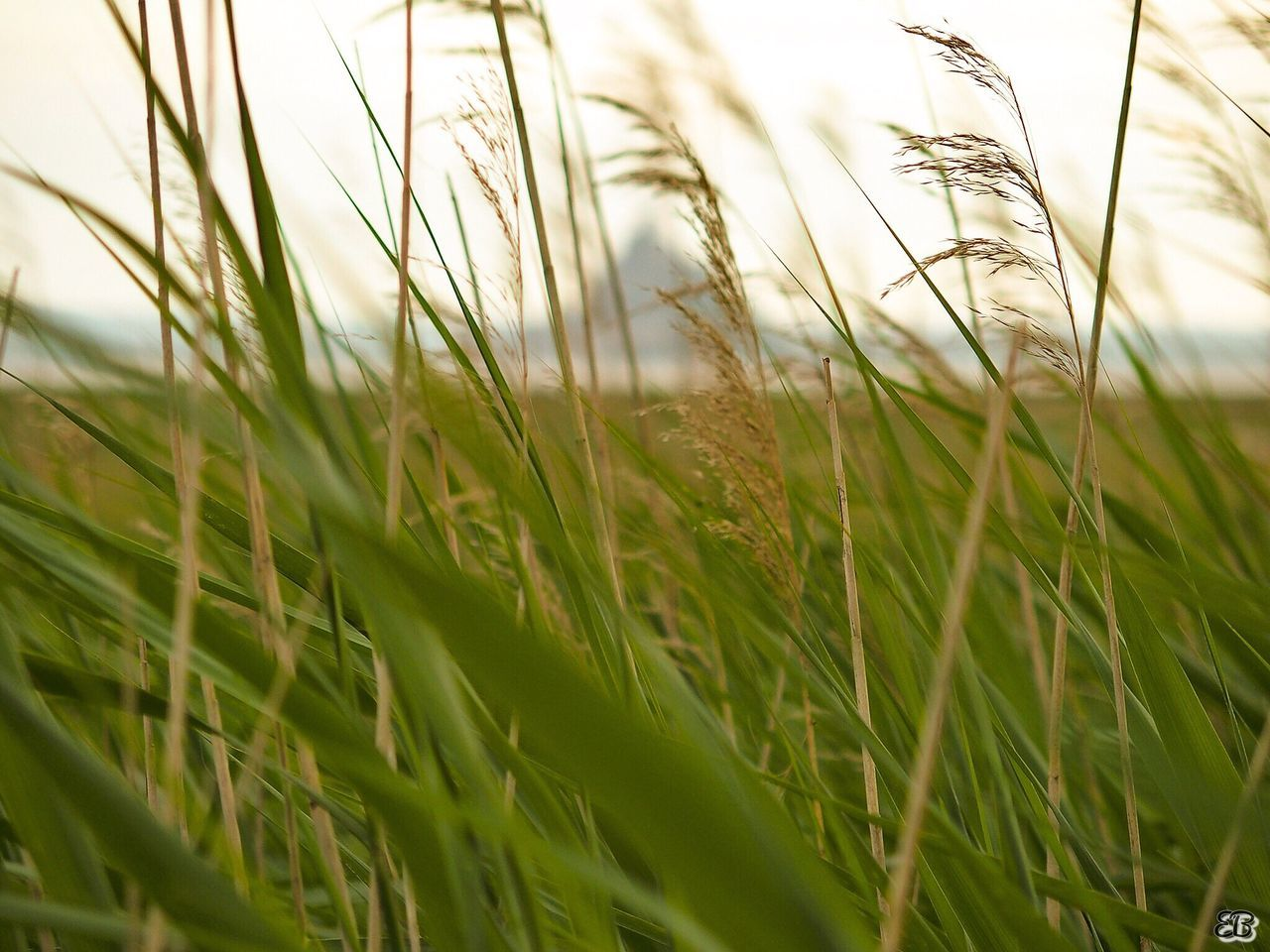 grass, growth, field, green color, selective focus, nature, wheat, cereal plant, crop, ear of wheat, agriculture, close-up, no people, plant, tranquility, day, outdoors, beauty in nature, rural scene, freshness, sky