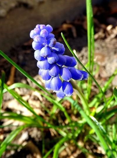 Grape Hyacinth Grape Hyacinths Nature Photography Purple Flower Botanical Images Flower Head Blossom Plants And Flowers Flower Collection Blooming Flower Plants Collection Flowers_collection Beauty Of Nature Nature_collection Beautiful Flowers Botany Flowering Freshness Spring Has Arrived Spring Colors Spring Flowers Spring Flower Closeup Flower Flowers Of EyeEm Hyacinth Flower