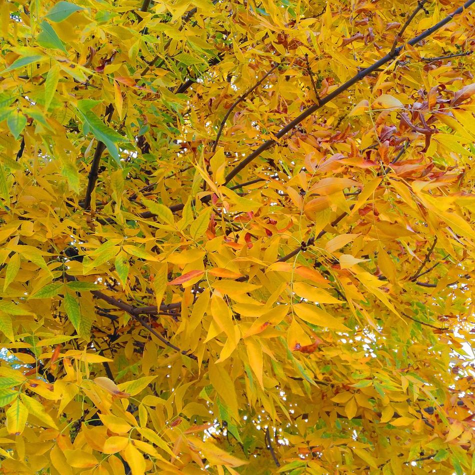 Autumn Change Season  Leaf Tree Branch Growth Yellow Low Angle View Tranquility Beauty In Nature Scenics Nature Day Vibrant Color Tranquil Scene Majestic Outdoors Leaves Non-urban Scene Check This Out BigSkyCountry Montanamoment
