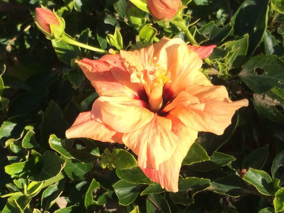 Nature Flower Plant Beauty In Nature Fragility Orange Color Leaf Growth Flower Head Freshness Petal Close-up Outdoors No People Green Color Day Day Lily NewToEyeEm Smsrtphone Photography No Edit/no Filter Blumen Fuerteventura Tui Magic Life Hibiscus Flower Hibiskus