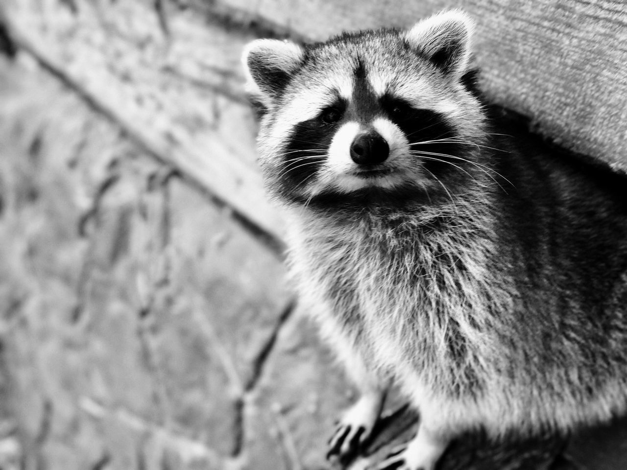 Hello. One Animal Animal Themes Mammal Animals In The Wild Whisker Nature No People Outdoors Day Close-up Red Panda Racoon