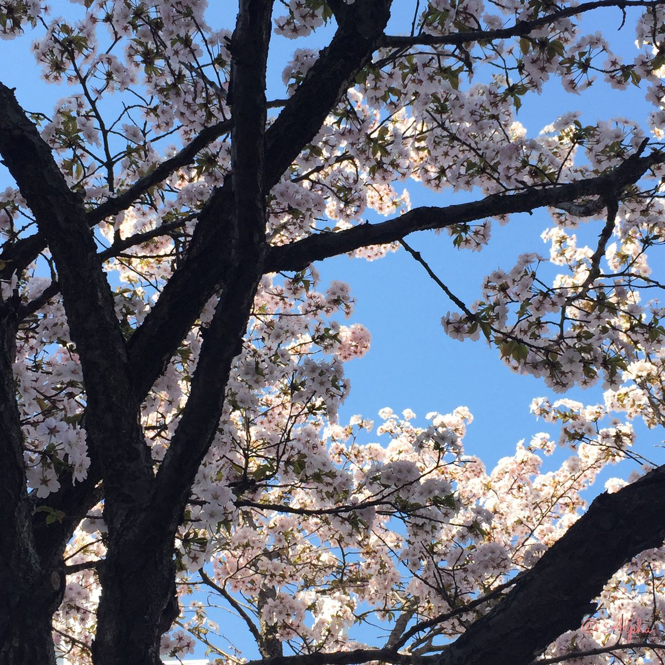 Springtime Cherryblossom Blue Sky Beauty In Nature Cherry Tree White Color Springflowers Nature_collection Blossom Flowerlovers Flower Tree Flowers_collection Treescollection EyeEmFlower EyeEm Nature Lover Flower Collection Treeflower Spring Photography Blooming